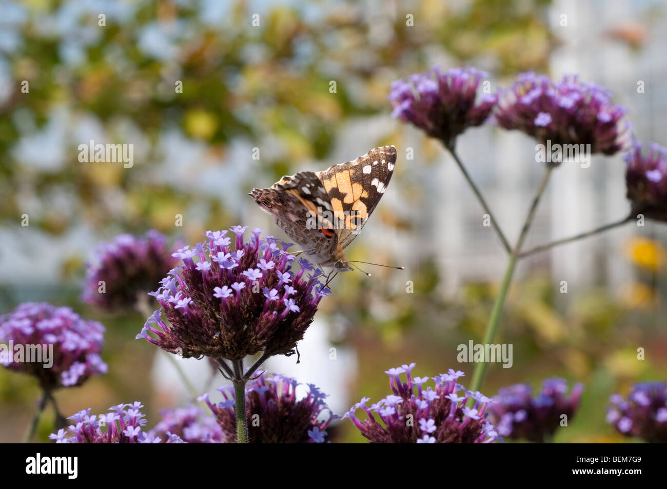 Painted lady butterfly feeding on verbena flower - Stock Image