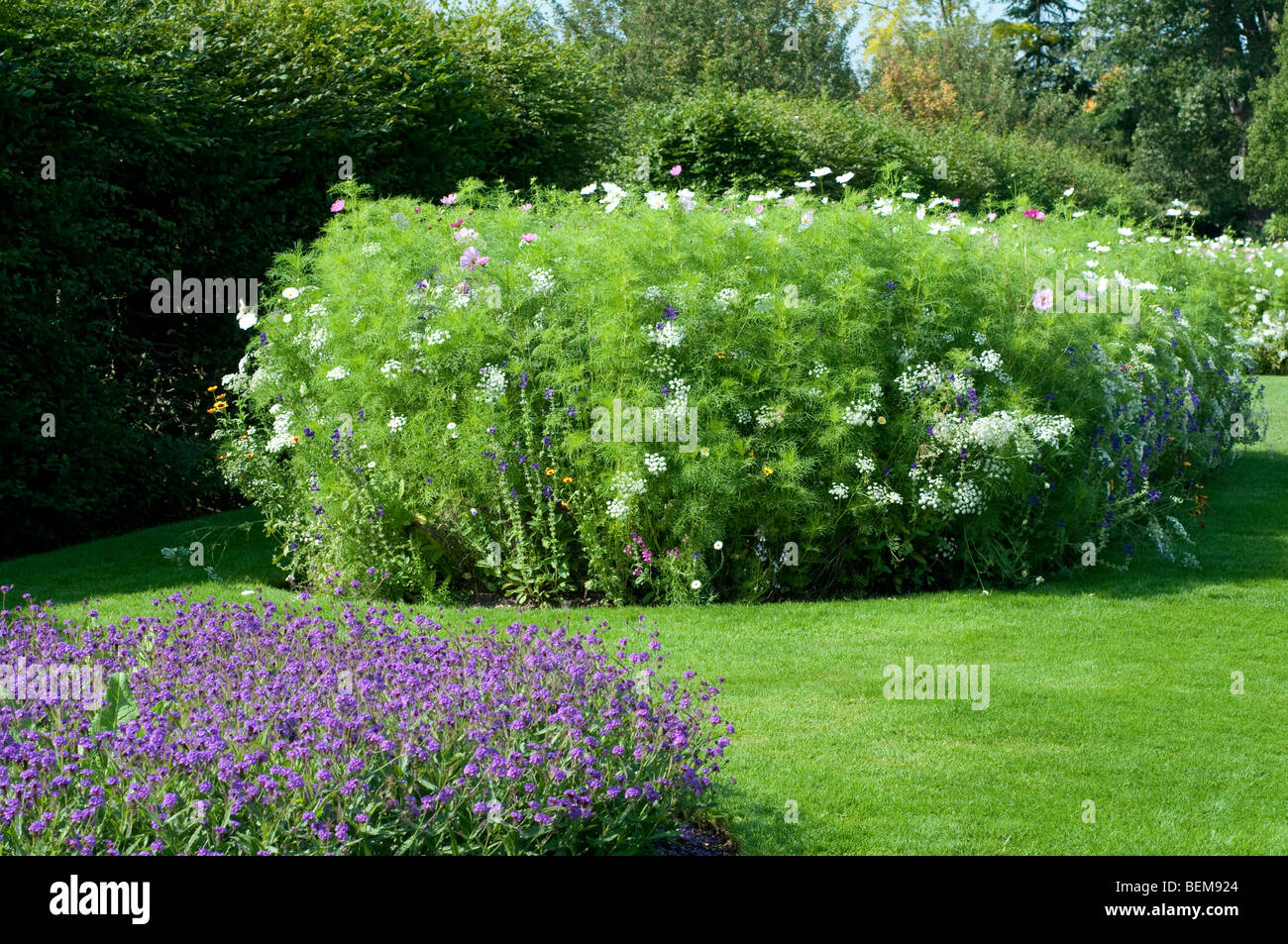 Verbenum in the foreground and Ammi majus and Cosmos bipinnatus in the background Stock Photo