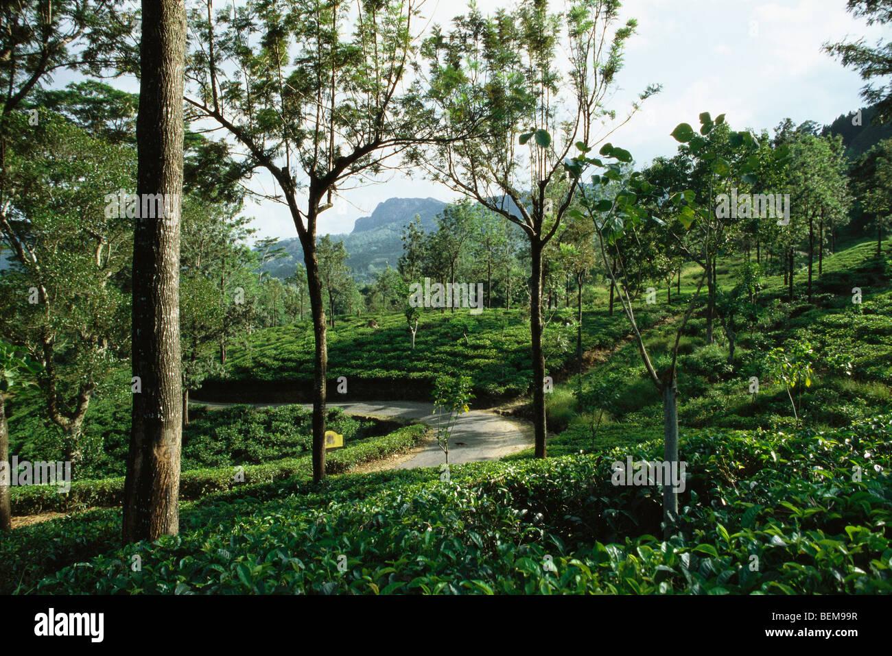 Tea plantation, mongoose crossing path in distance, Darjeeling, India - Stock Image