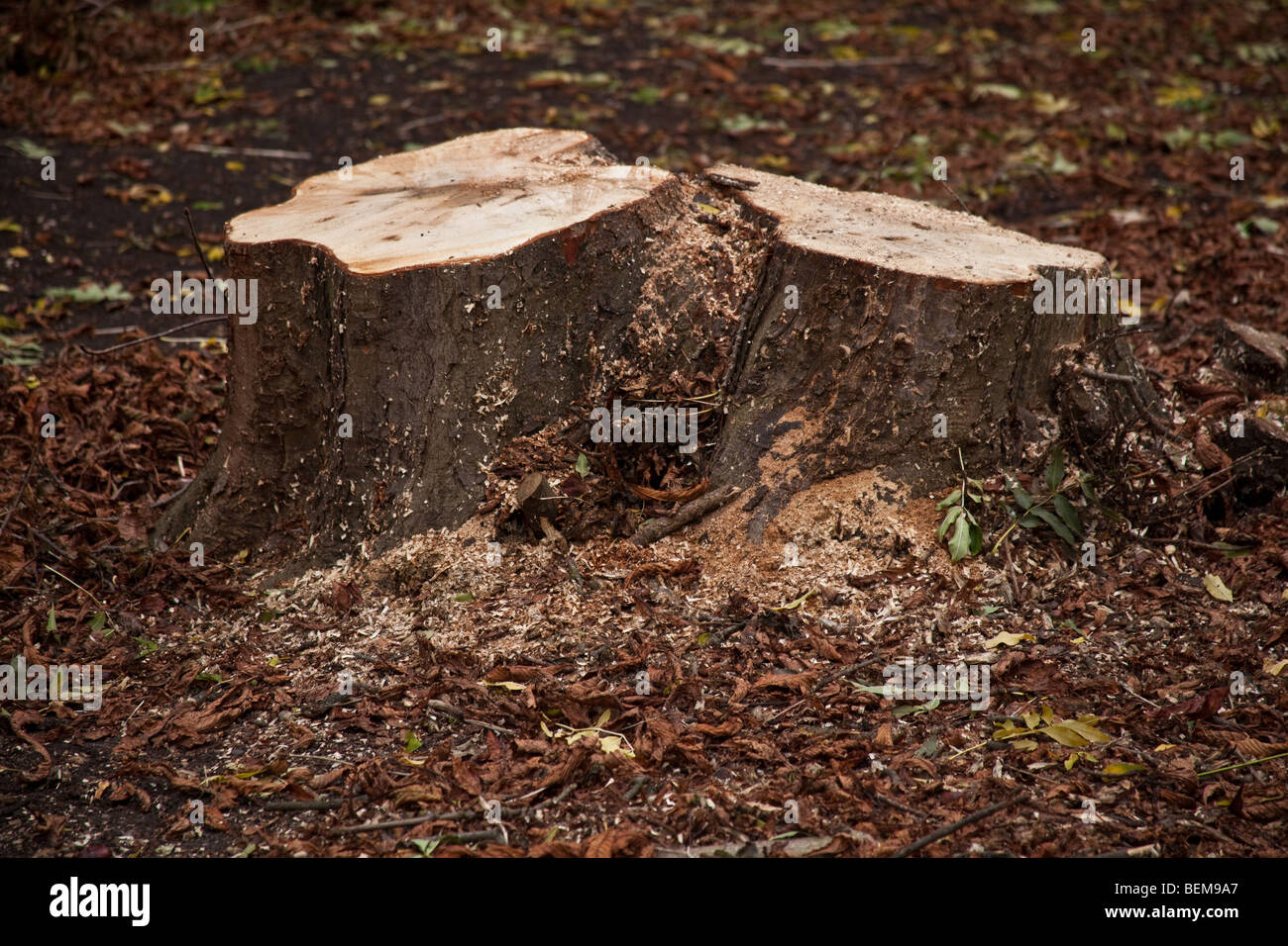 Tree stumps, Wanstead Park, London, England. - Stock Image