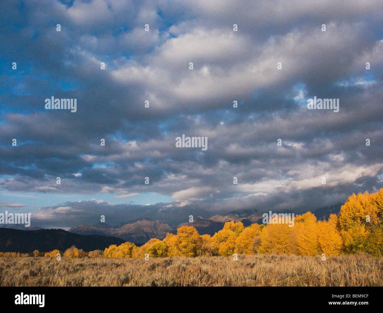 Aspen trees with fallcolors, Grand Teton NP,Wyoming, USA - Stock Image