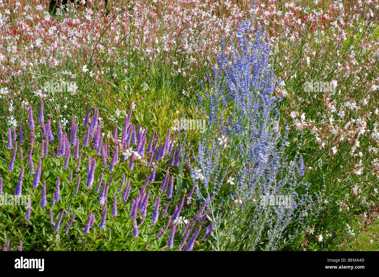 Veronicastrum ADORATION, Perovskia atriplicifolia LITTLE SPIRE and Gaura lindheimeri WHIRLING BUTTERFLIES - Stock Image