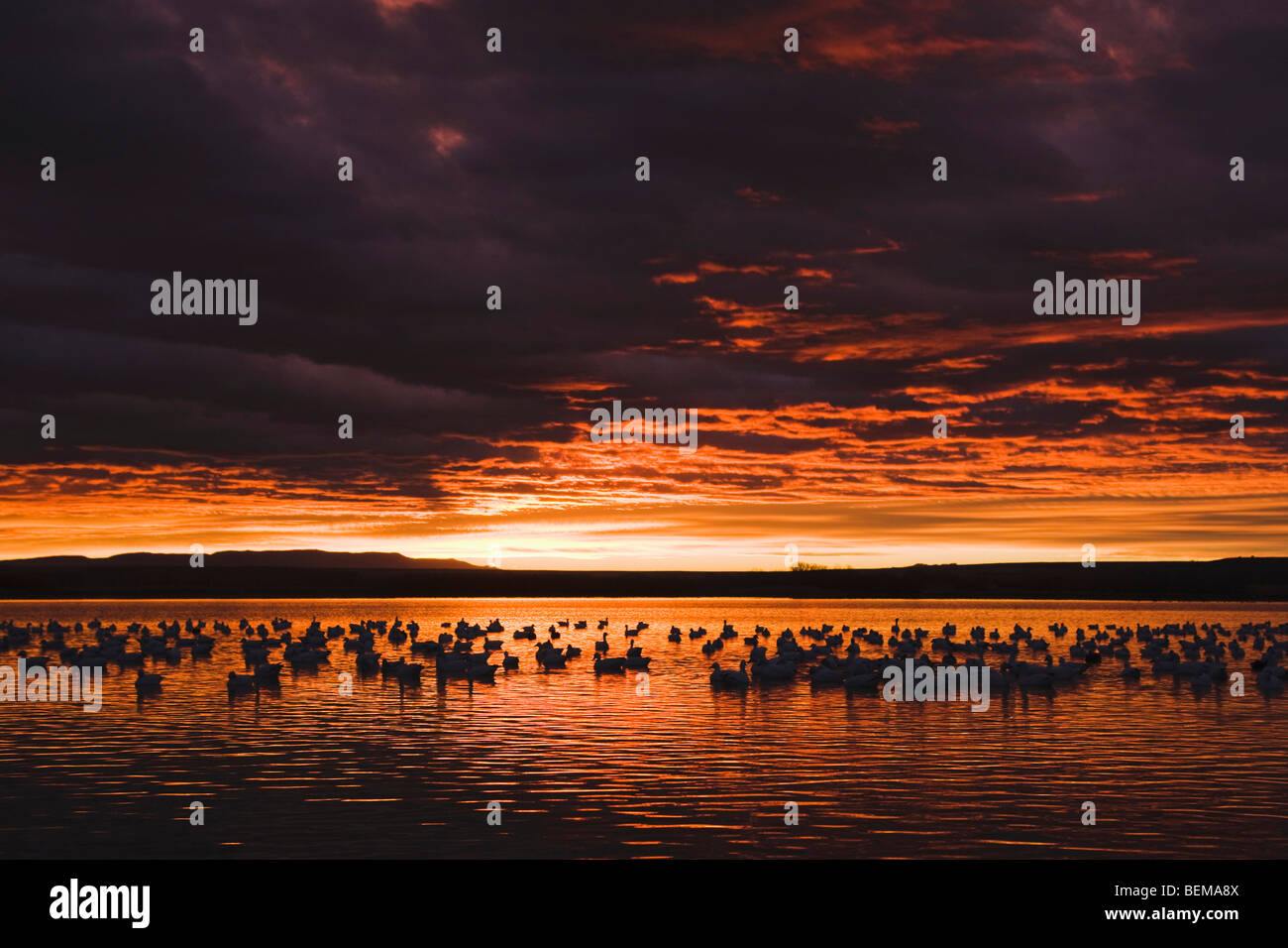 Snow Goose (Chen caerulescens), flock at sunrise, Bosque del Apache National Wildlife Refuge , New Mexico, USA, - Stock Image