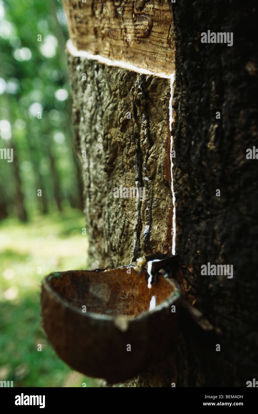 Para Rubber Tree (Hevea brasiliensis), being tapped to collect latex, Sri Lanka Stock Photo