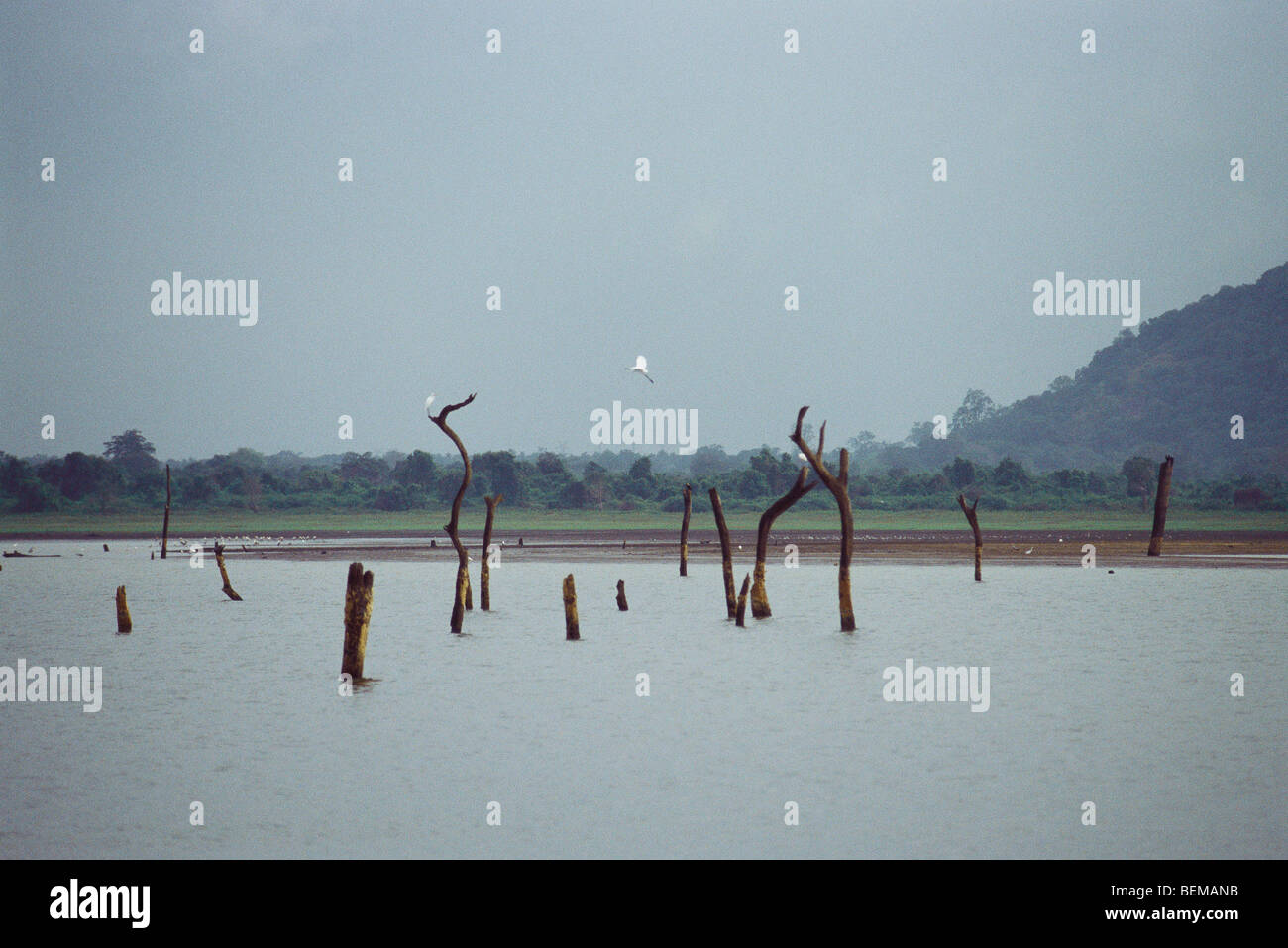 Landscape with dead trees standing in lake and egrets, Sri Lanka - Stock Image