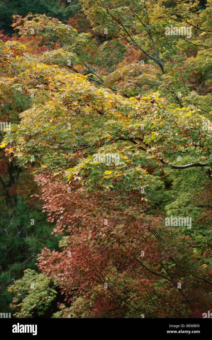 Japanese Maples (Acer palmatum) Stock Photo