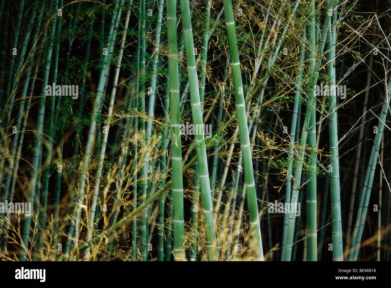 Bamboo grove, Japan Stock Photo