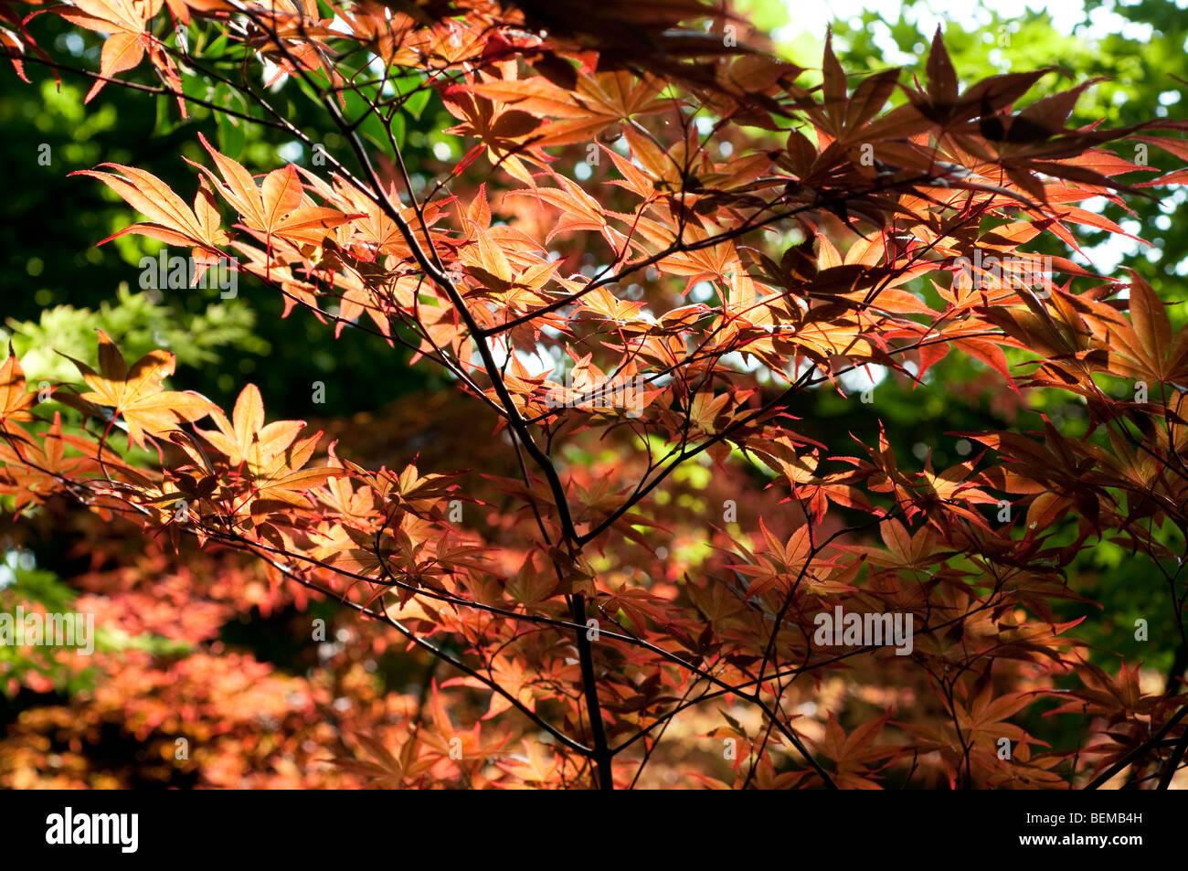 Acer Palmatum Shojo Nomura Stock Photo 26263345 Alamy