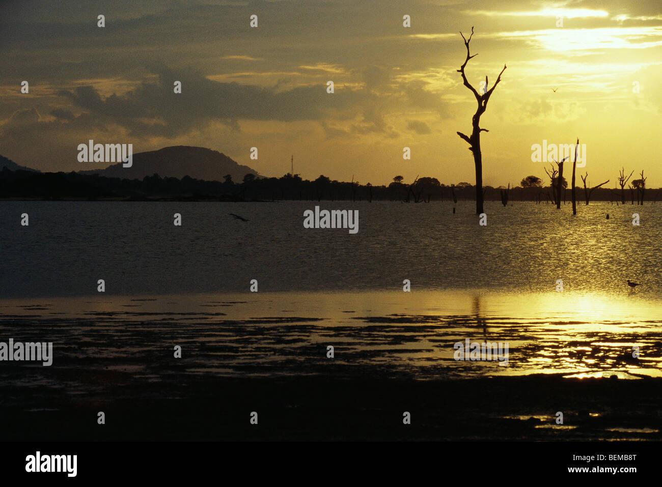 Dead trees standing in lake, silhouetted against golden sky, Sri Lanka - Stock Image