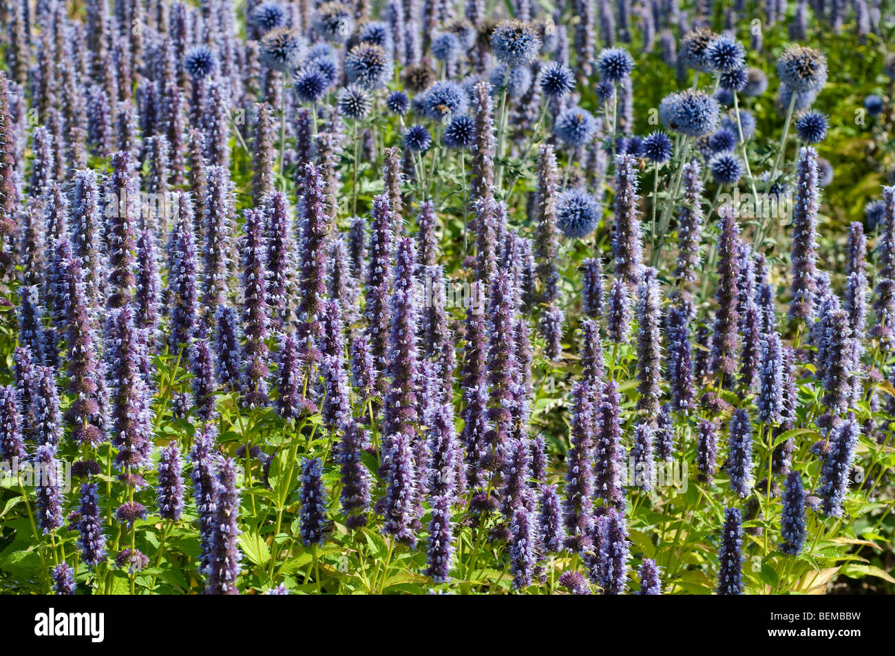 Agastache BLUE FORTUNE and blue globes - Stock Image