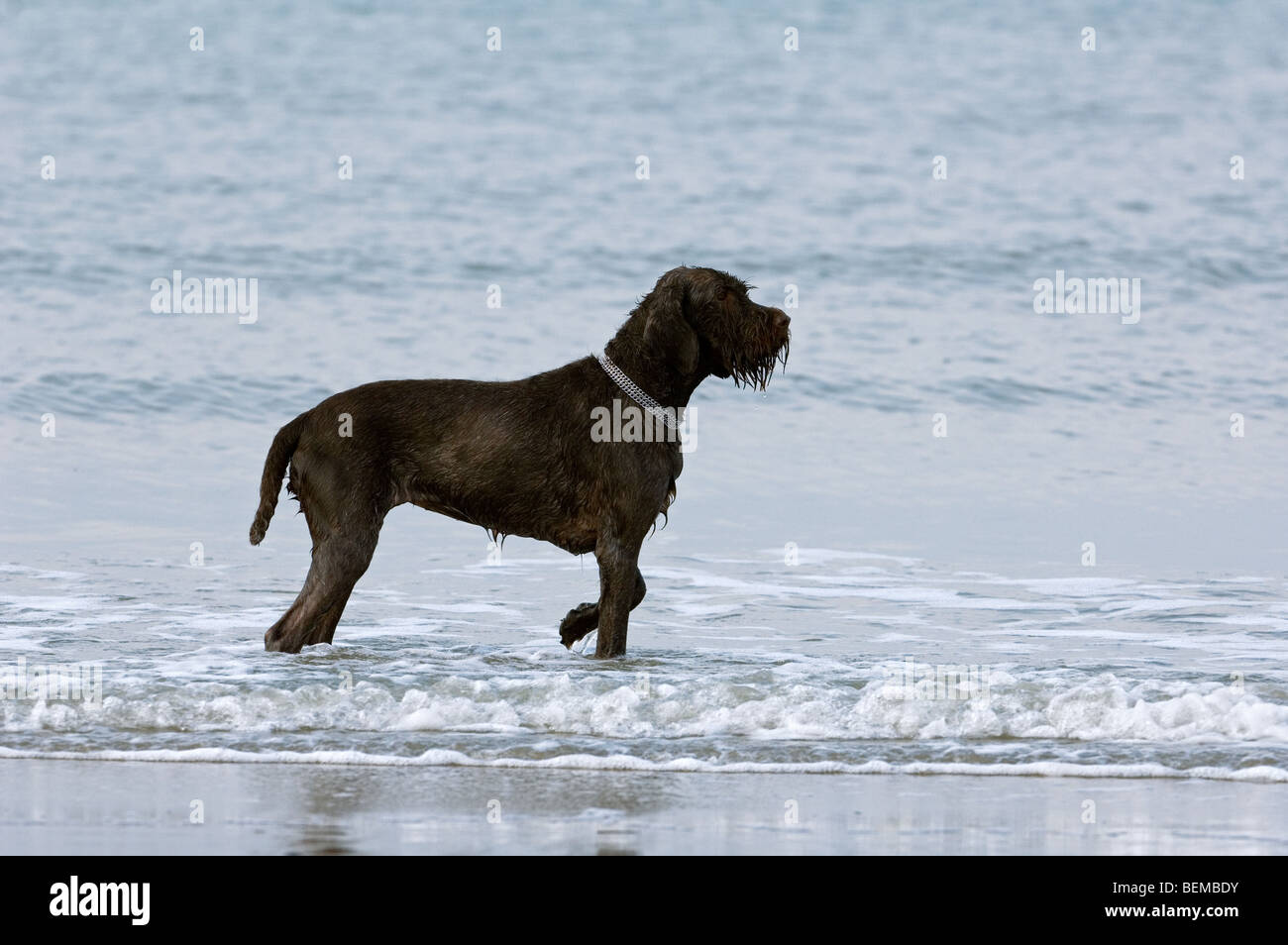 German Wirehaired Pointer Stock Photos & German Wirehaired Pointer ...
