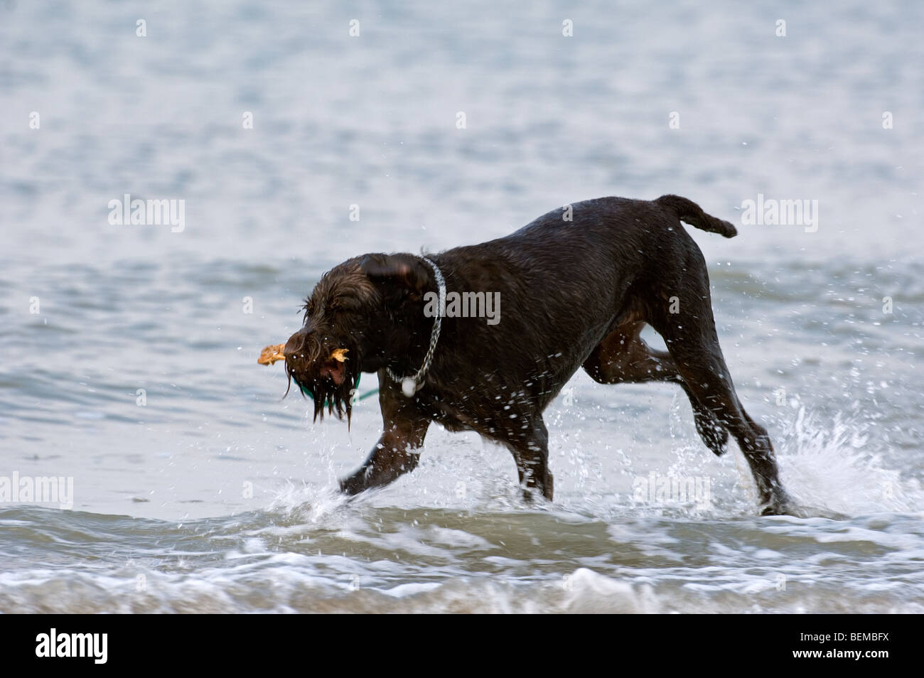 German Wirehaired Pointer Dog In Stock Photos & German Wirehaired ...