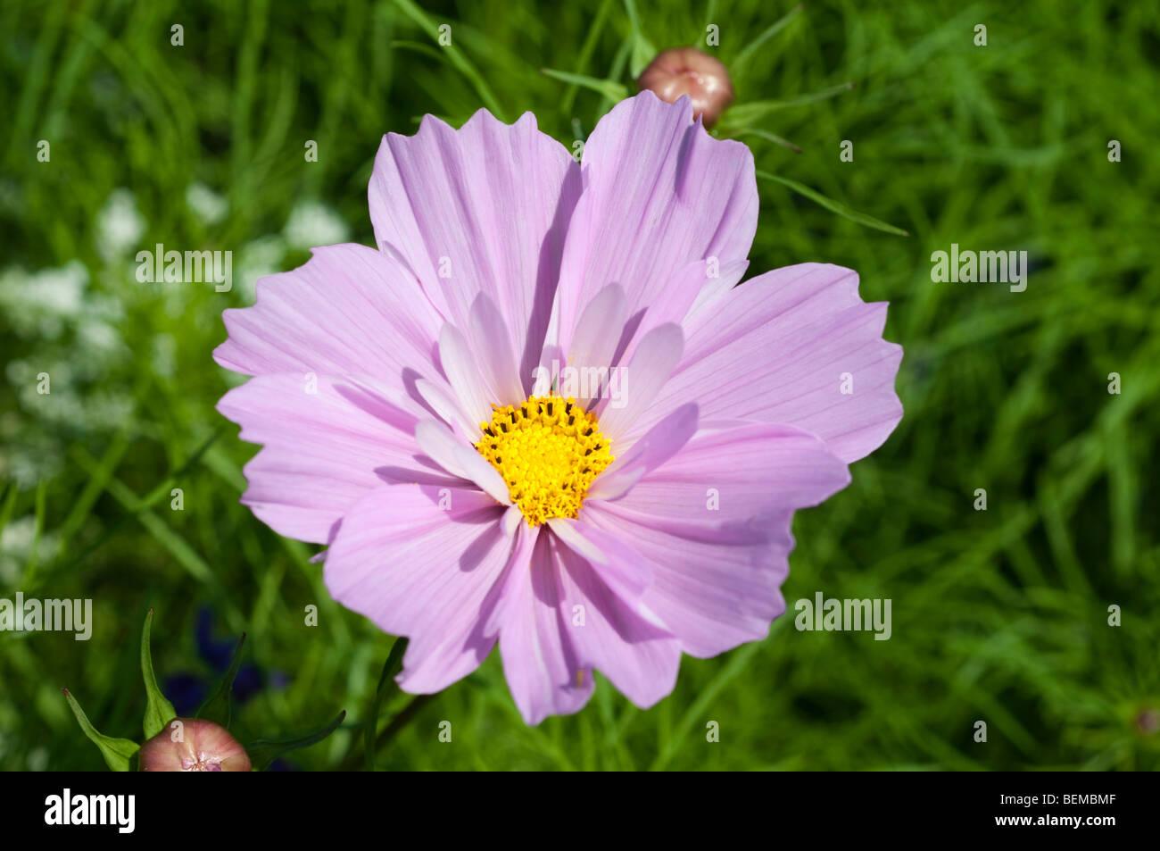 Cosmos bipinnatus and Ammi majus Stock Photo