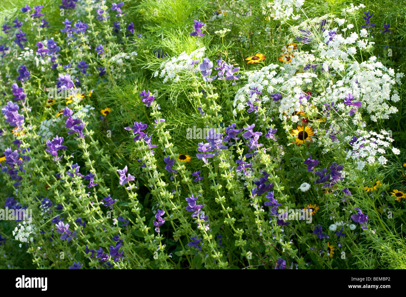 Ammi majus and Salvia viridis BLUE DENIM in flower border Stock Photo