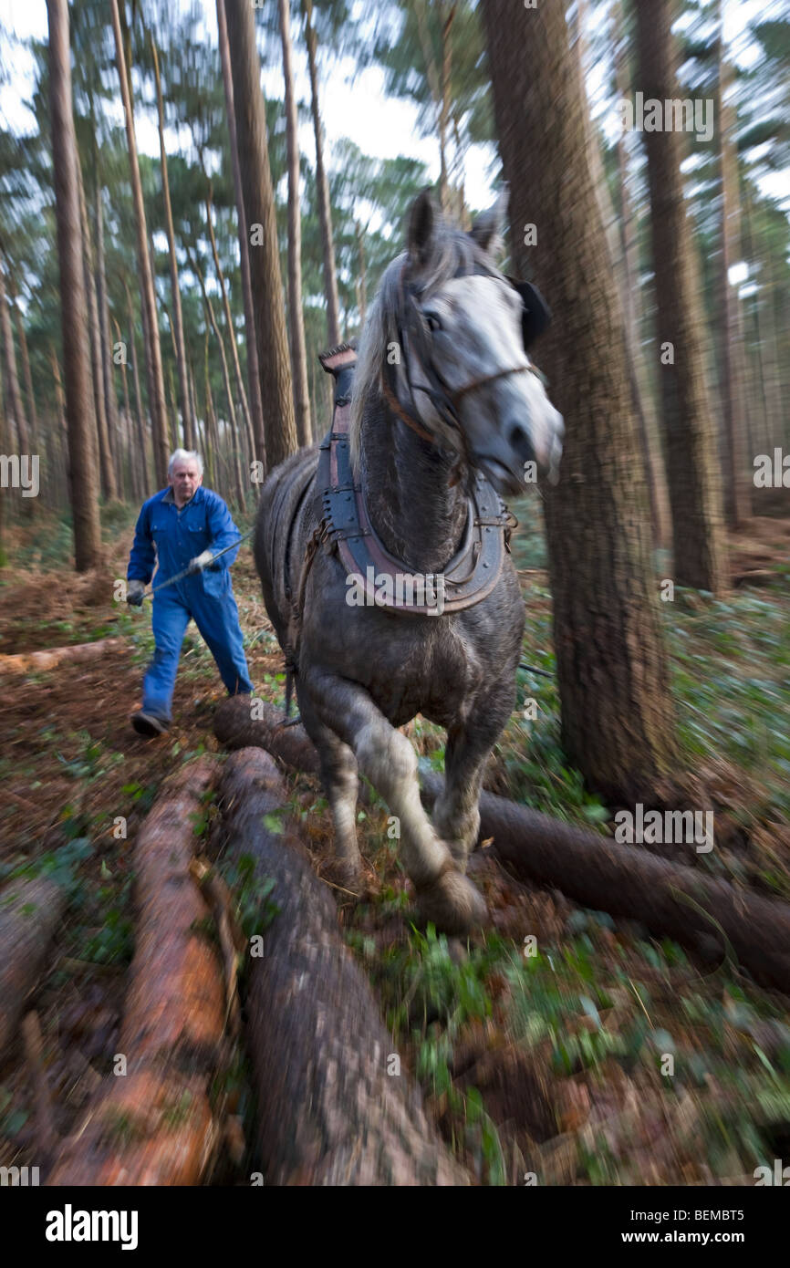 Forester dragging tree trunk / log from forest with Belgian Draft horse / Brabant Heavy Horse (Equus caballus), - Stock Image