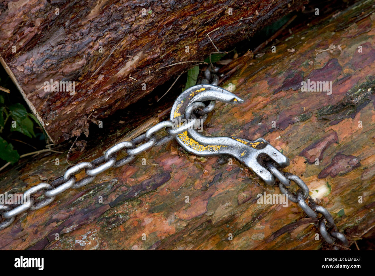 Chain around tree-trunk to be towed away by forester's draught horse (Equus caballus), Belgium - Stock Image