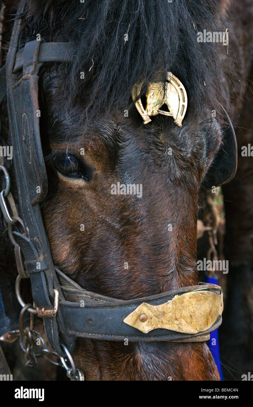 Close up of draught horse's (Equus caballus) harness, Belgium - Stock Image