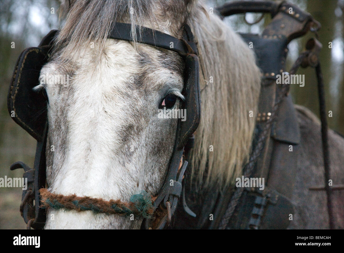 Close up of draught horse (Equus caballus) with harness, Belgium - Stock Image
