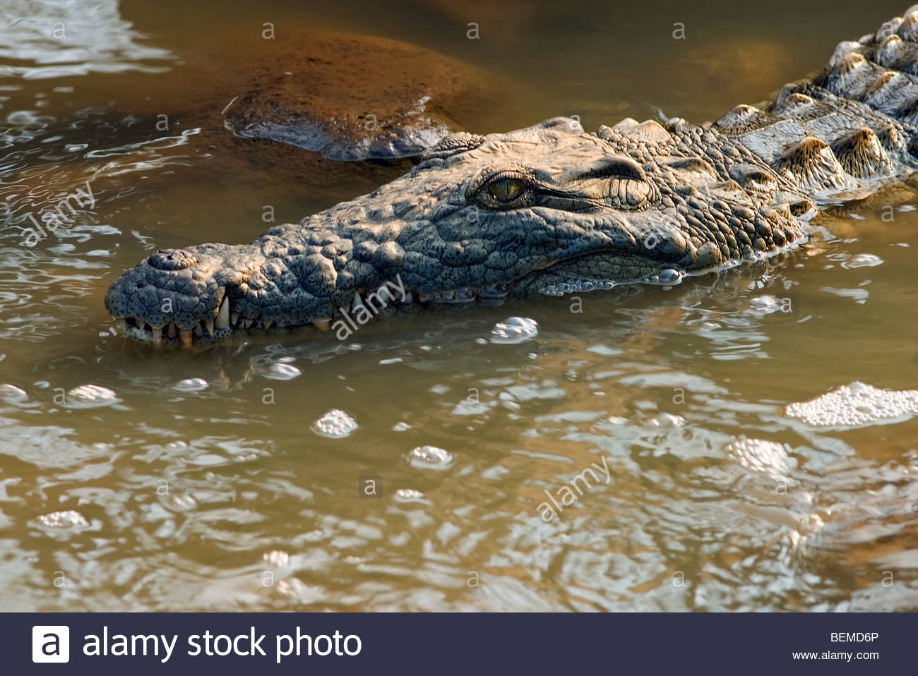 Close-up of Nile crocodile (Crocodylus niloticus) swiming in water, South Africa - Stock Image