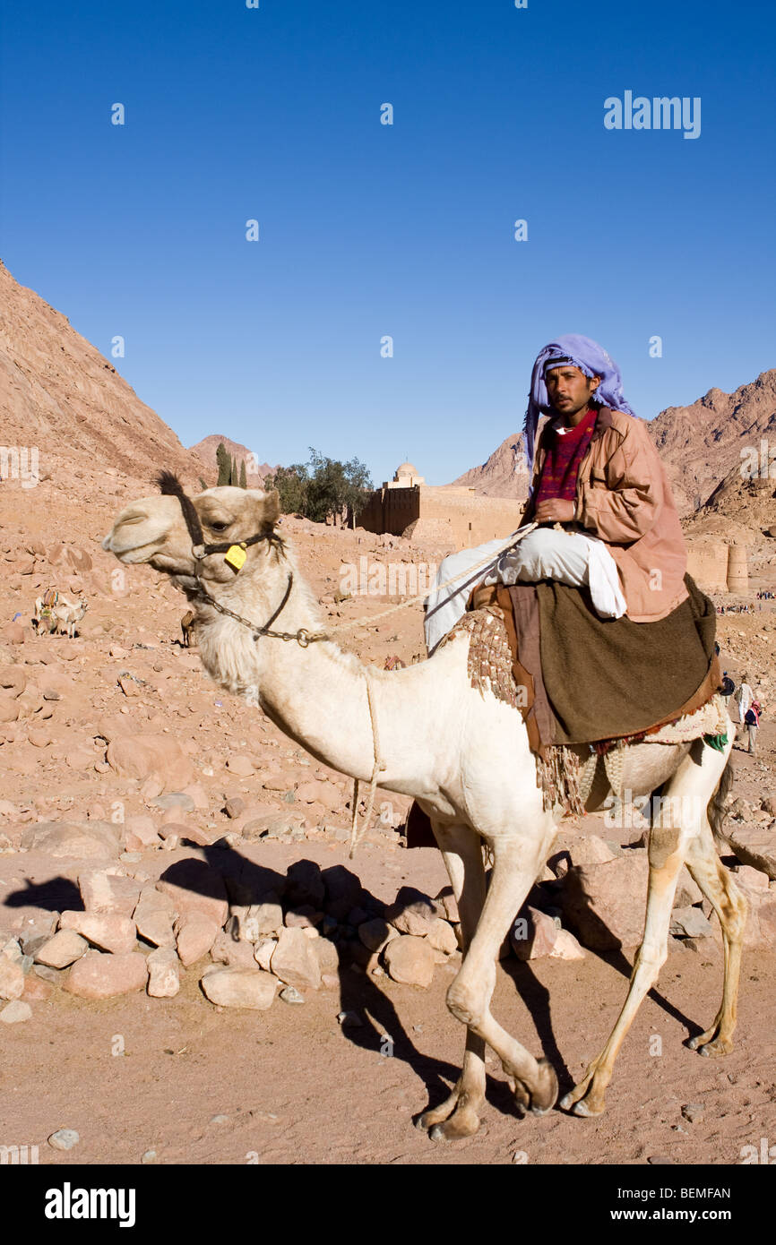 Egyptian bedouin guide and camel early morning St Catherine's Monastery, Mount Sinai, Egypt, Middle East - Stock Image