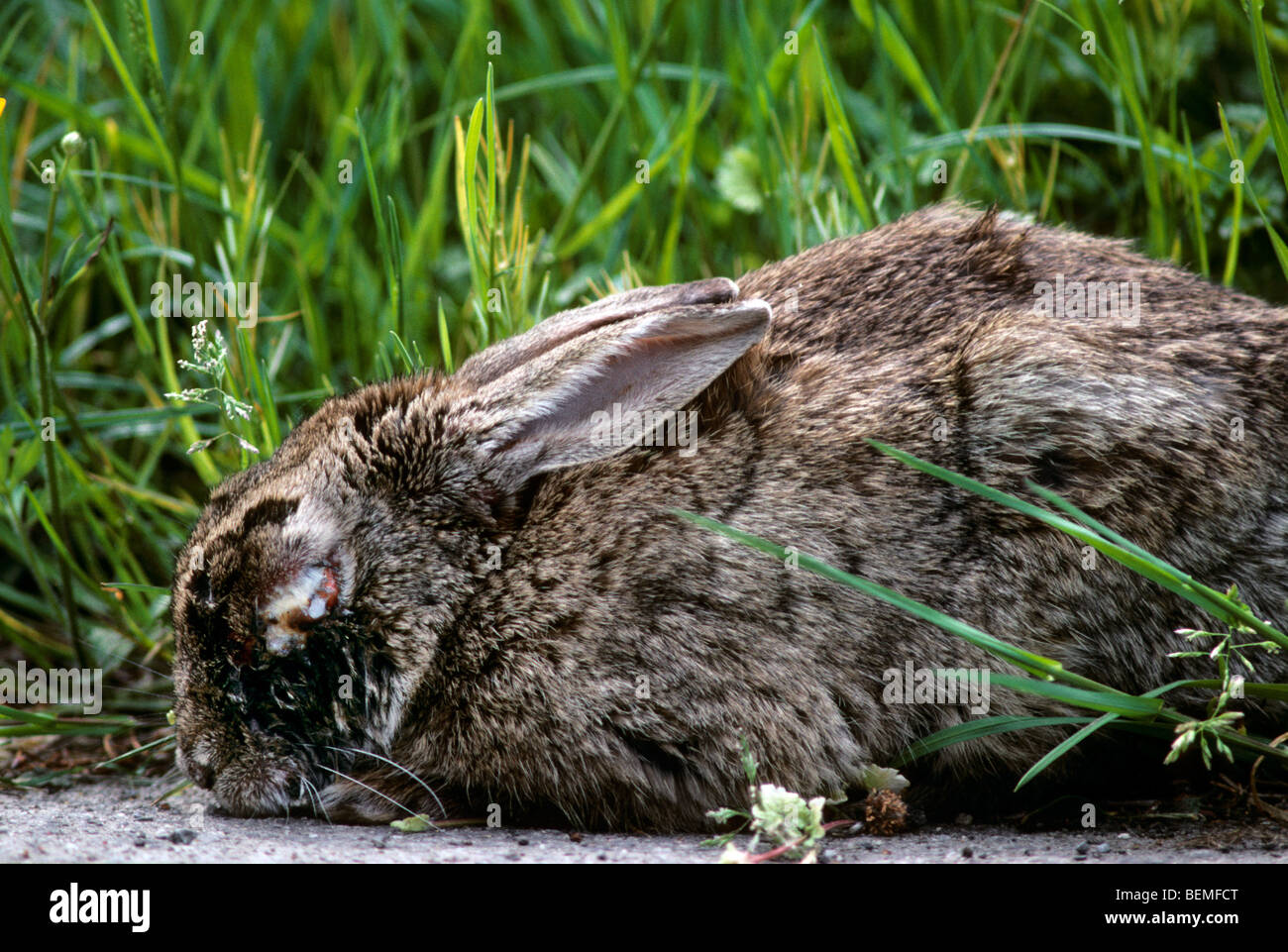 Sick rabbit (Oryctolagus cuniculus) infected with the Myxomatosis disease showing swelling around the eyes - Stock Image