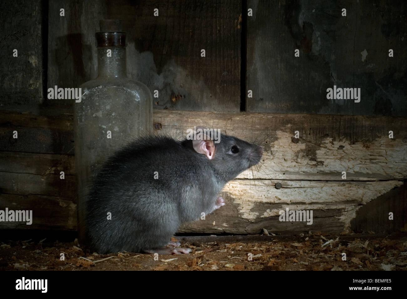 Black Rat Rattus Rattus In Stock Photos Amp Black Rat Rattus