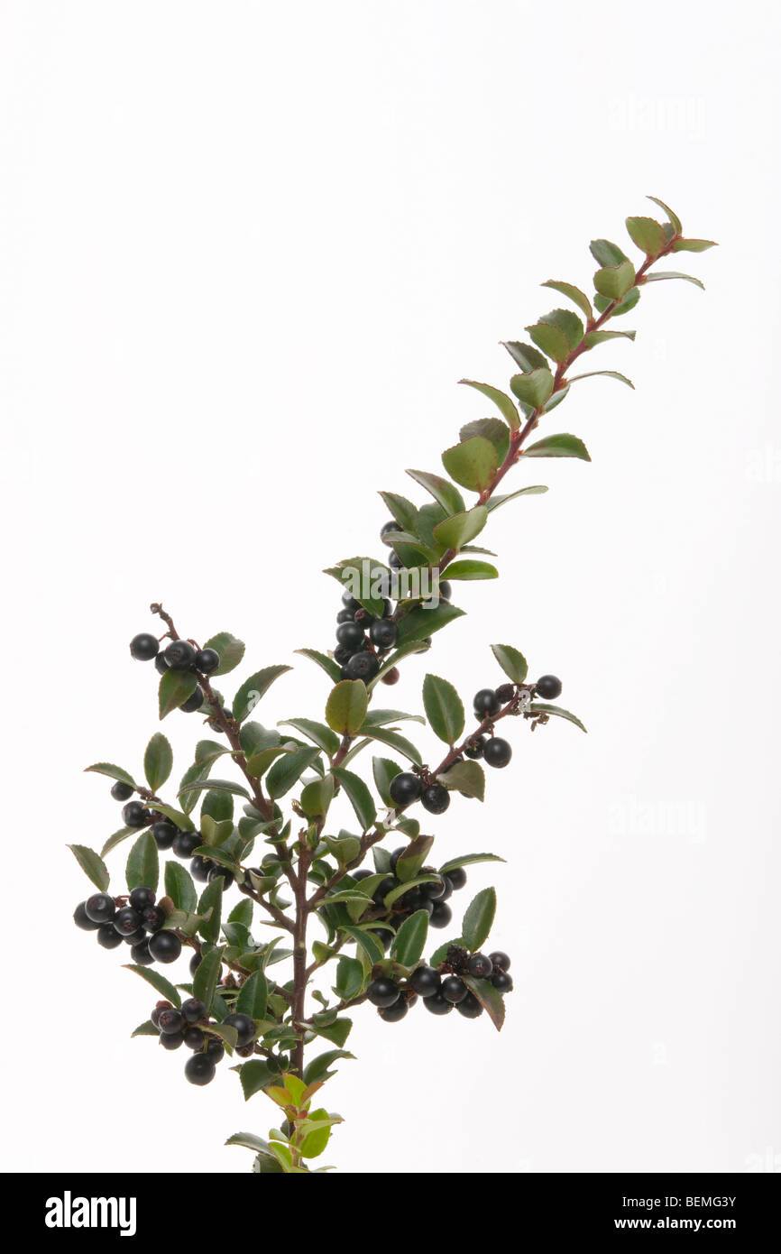 stem and fruit of black huckleberry gaylussacia baccata - Stock Image