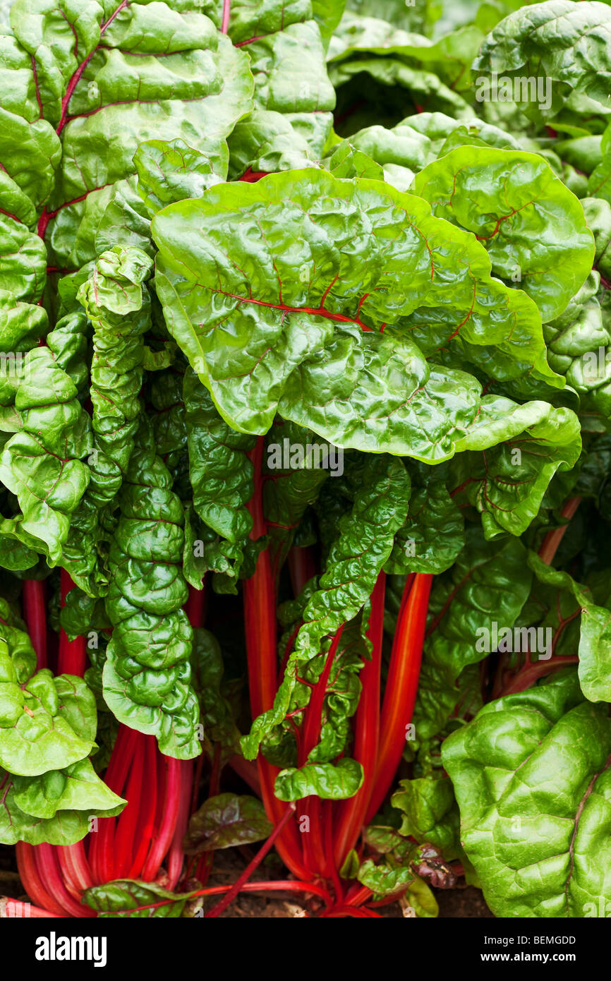 background of green leafy kale in the garden - Stock Image