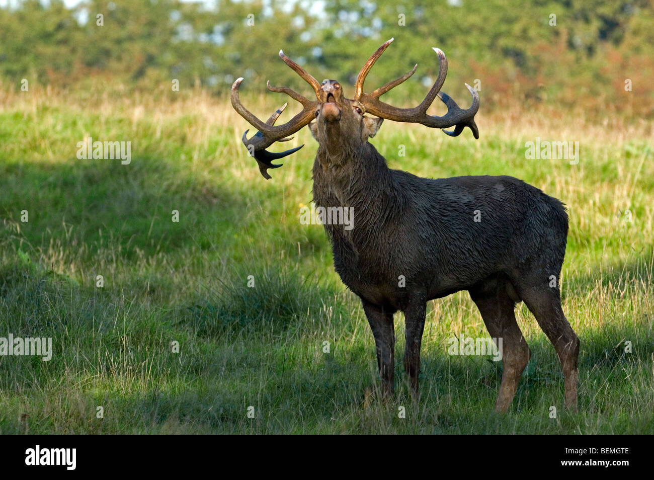 Red deer stag (Cervus elaphus) with large antlers calling / bellowing during the rutting season in autumn at forest - Stock Image