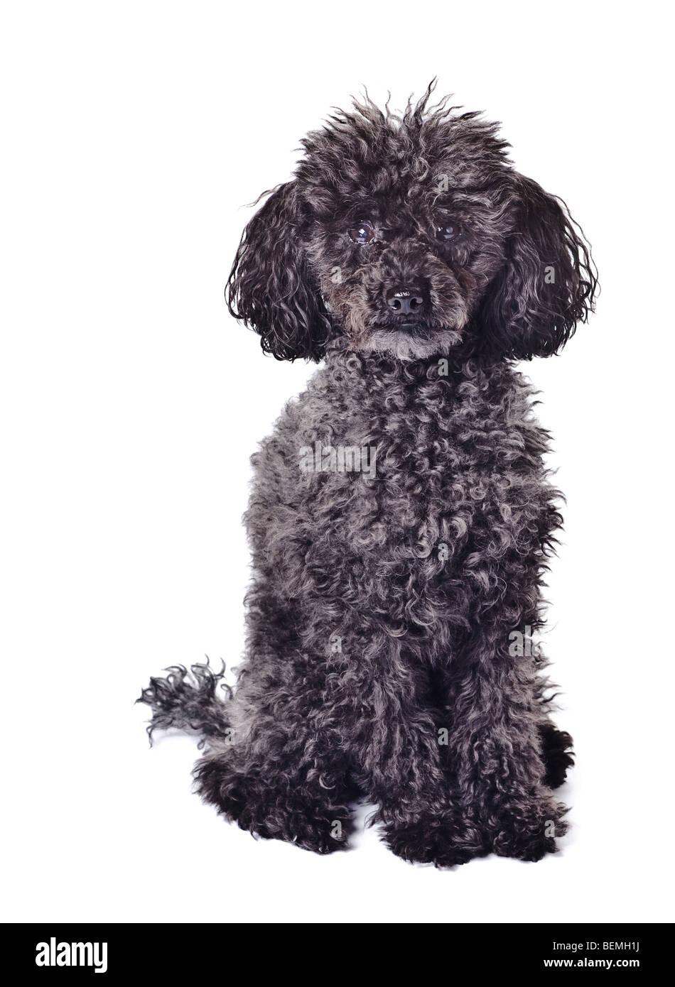 black poodle isolated on a white background - Stock Image