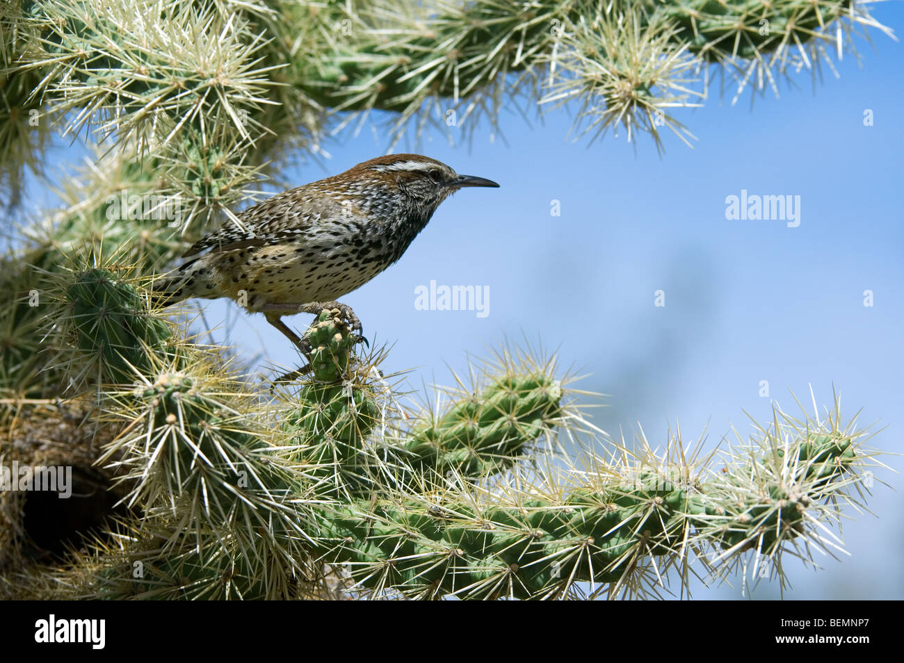 Cactus wren (Campylorhynchus brunneicapillus) at nest in Chain fruit / Jumping cholla in the Sonora desert, Arizona, - Stock Image