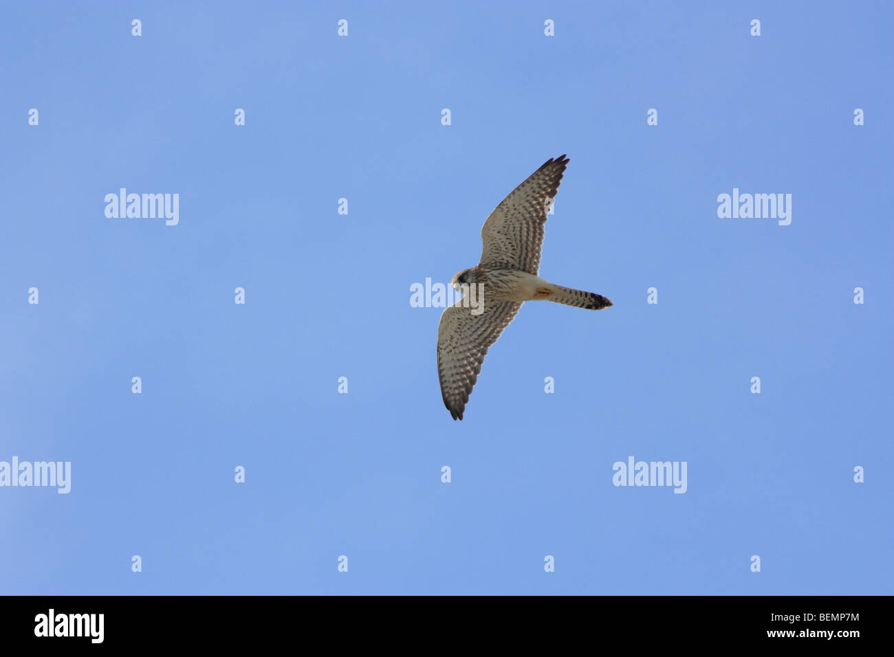 Kestrel, Falco tinnunculus Stock Photo