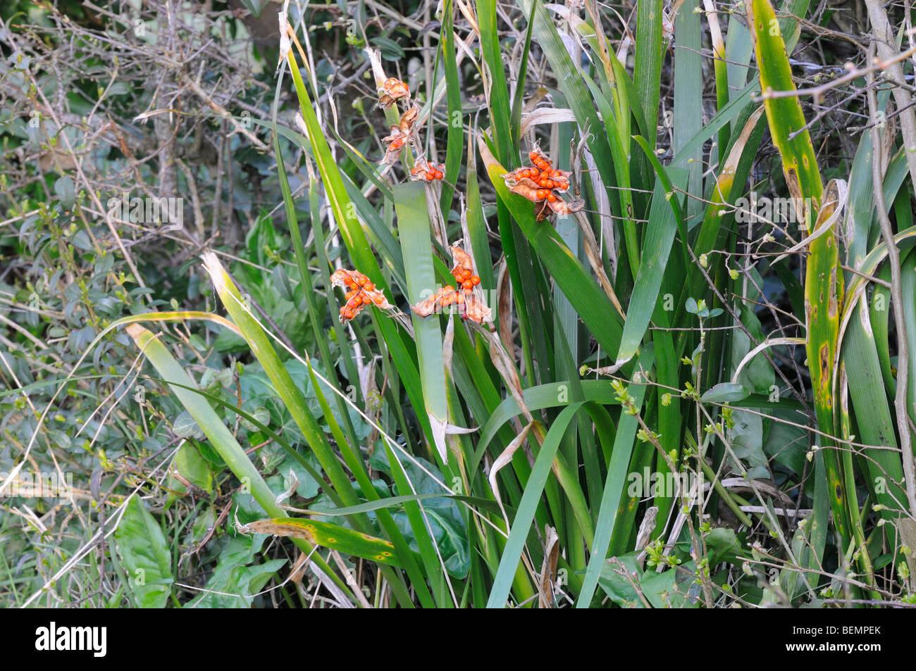 Stinking Iris Iris foetidissima Photographed in Dorset  England seed heads - Stock Image