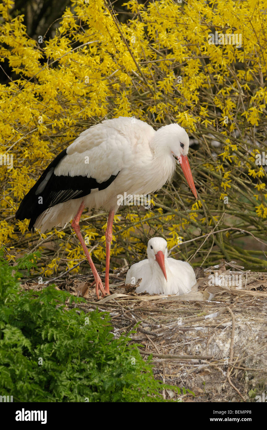 White Stork Ciconia ciconia Pair nesting Photographed in Spain Stock Photo