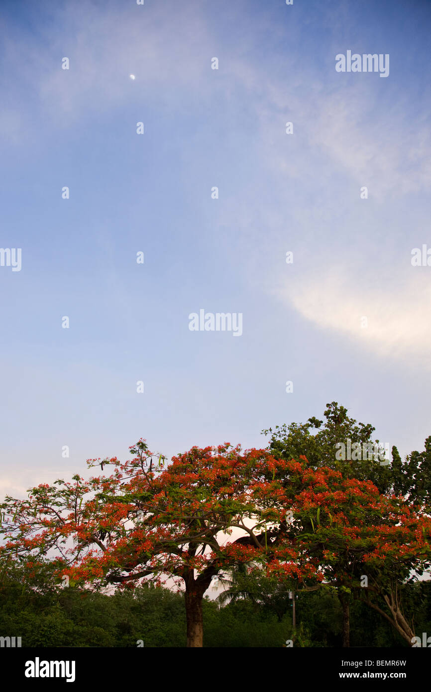 Flowering Poinciana tree and blue sky at Playas del Coco, Costa Rica. - Stock Image