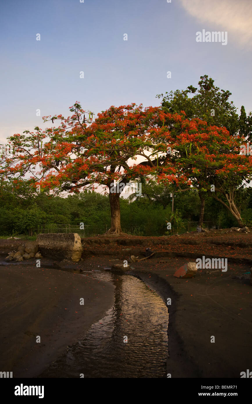 Estuary stream with flowering Poinciana tree in background at Playas del Coco, Costa Rica. - Stock Image
