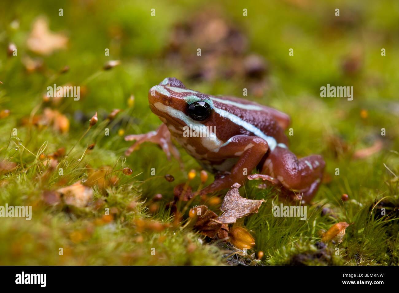 Phantasmal Poison Dart Frog, Epipedobates tricolor - Stock Image