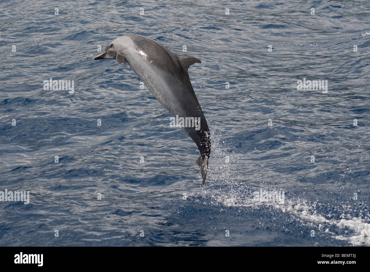 Pantropical Spotted Dolphin, Stenella attenuata, breaching, Island of Saint Helena, South Atlantic Ocean. - Stock Image