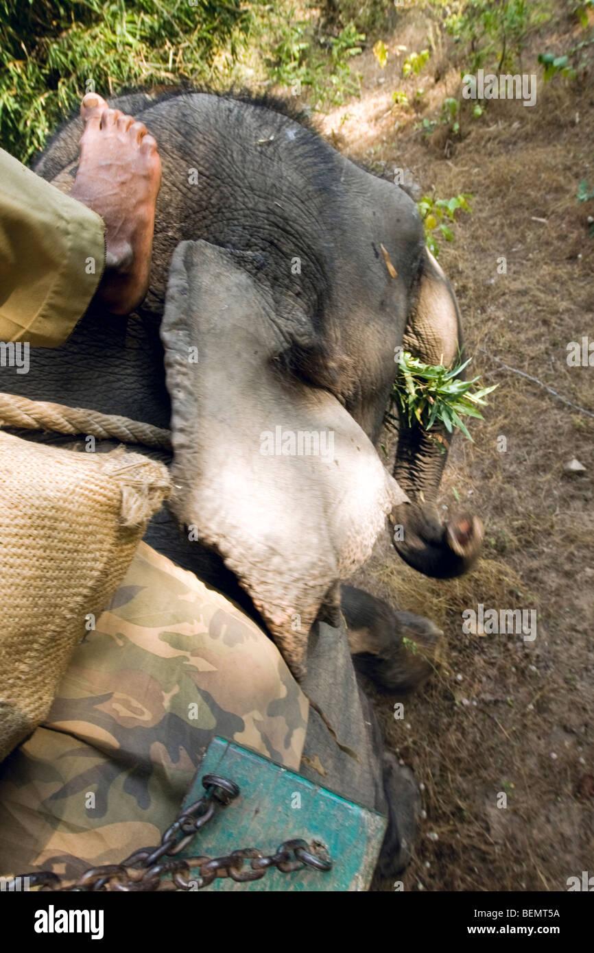 Bandhavgarh National Park India Elephant ride - Stock Image