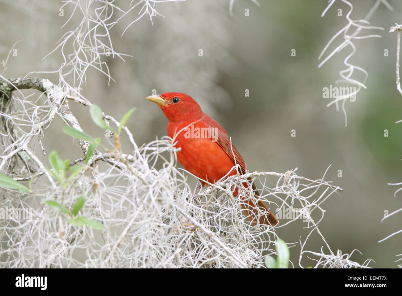 Summer Tanager perched in Spanish Moss - Stock Image