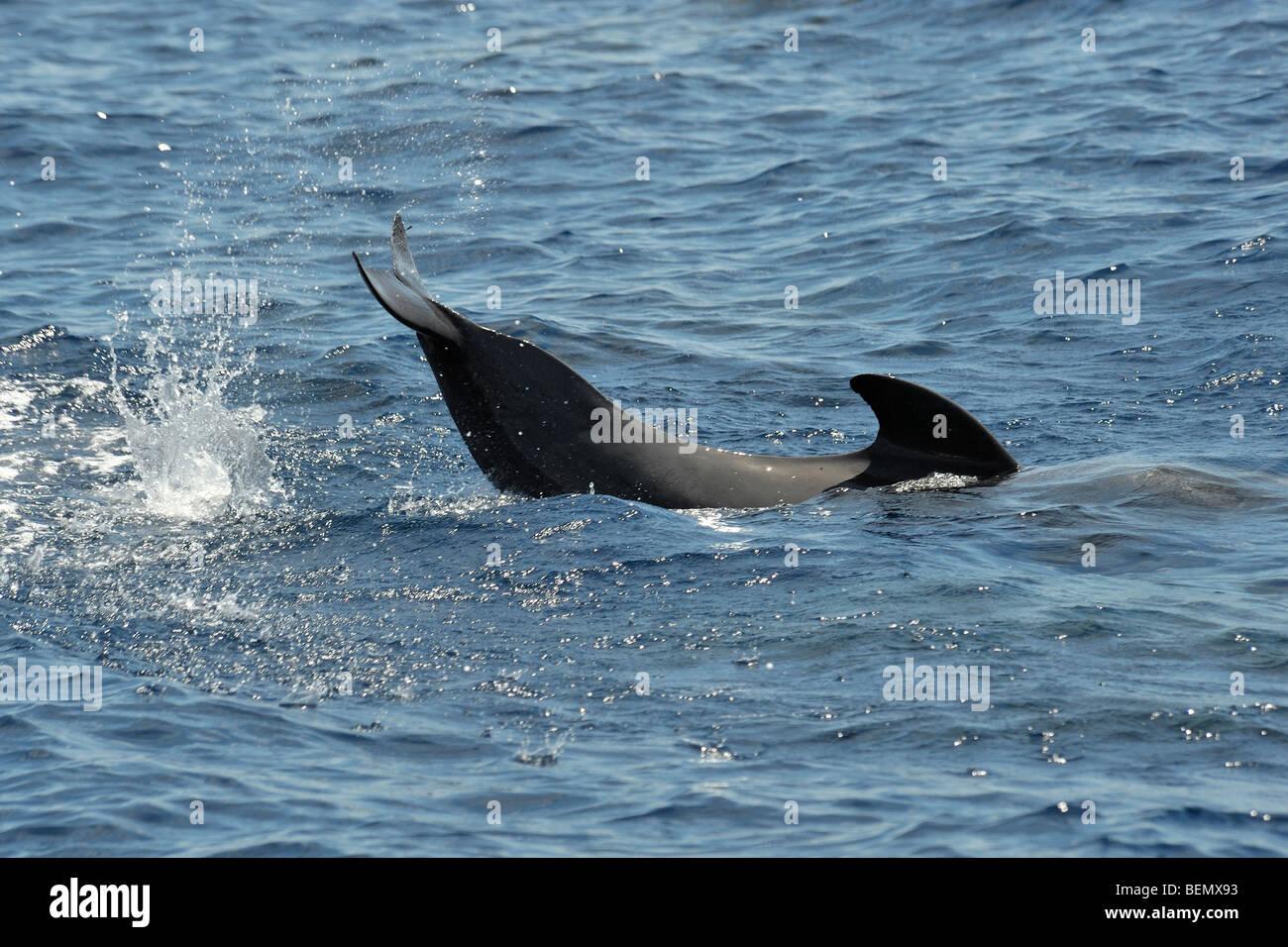 Short-finned Pilot Whale, Globicephala macrorhynchus, lobtailing, south of Pico Island, Azores, Atlantic Ocean. - Stock Image