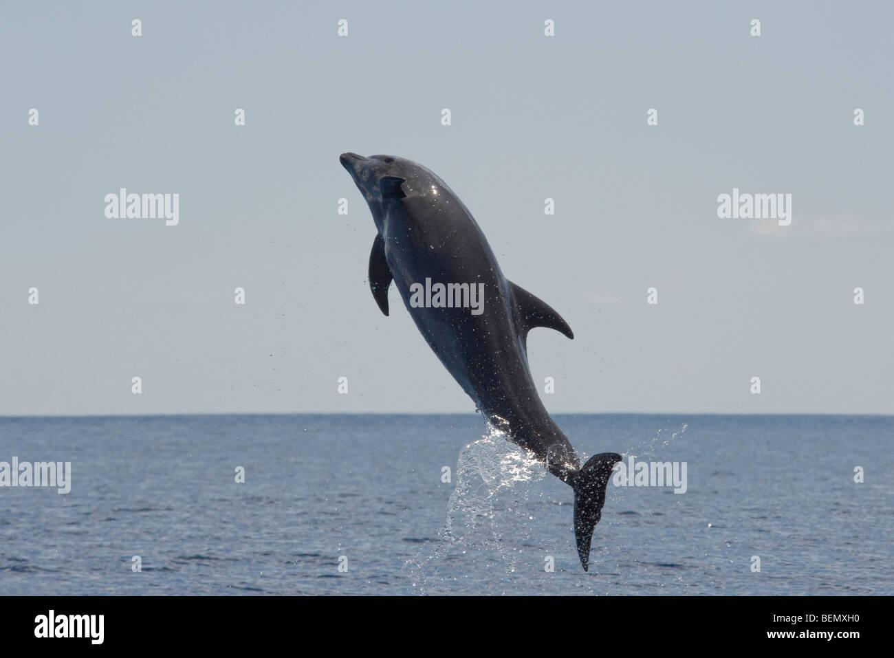 Common Bottlenose Dolphin, Tursiops truncatus. Costa Rica, Pacific Ocean. - Stock Image