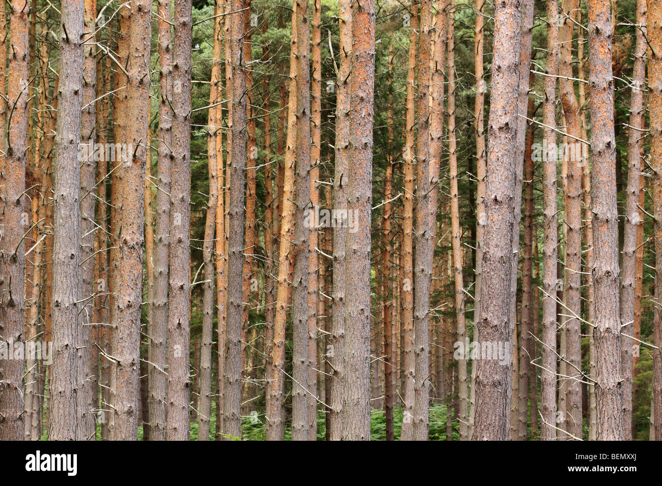 Coniferous forest plantation, England UK - Stock Image