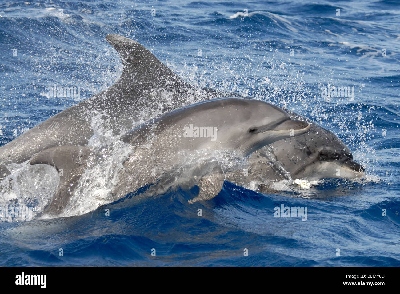 Common Bottlenose Dolphin, Tursiops truncatus. Azores, Atlantic Ocean. - Stock Image