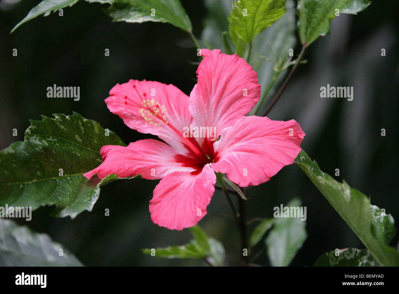 China Rose Flower Stock Photos China Rose Flower Stock Images Alamy