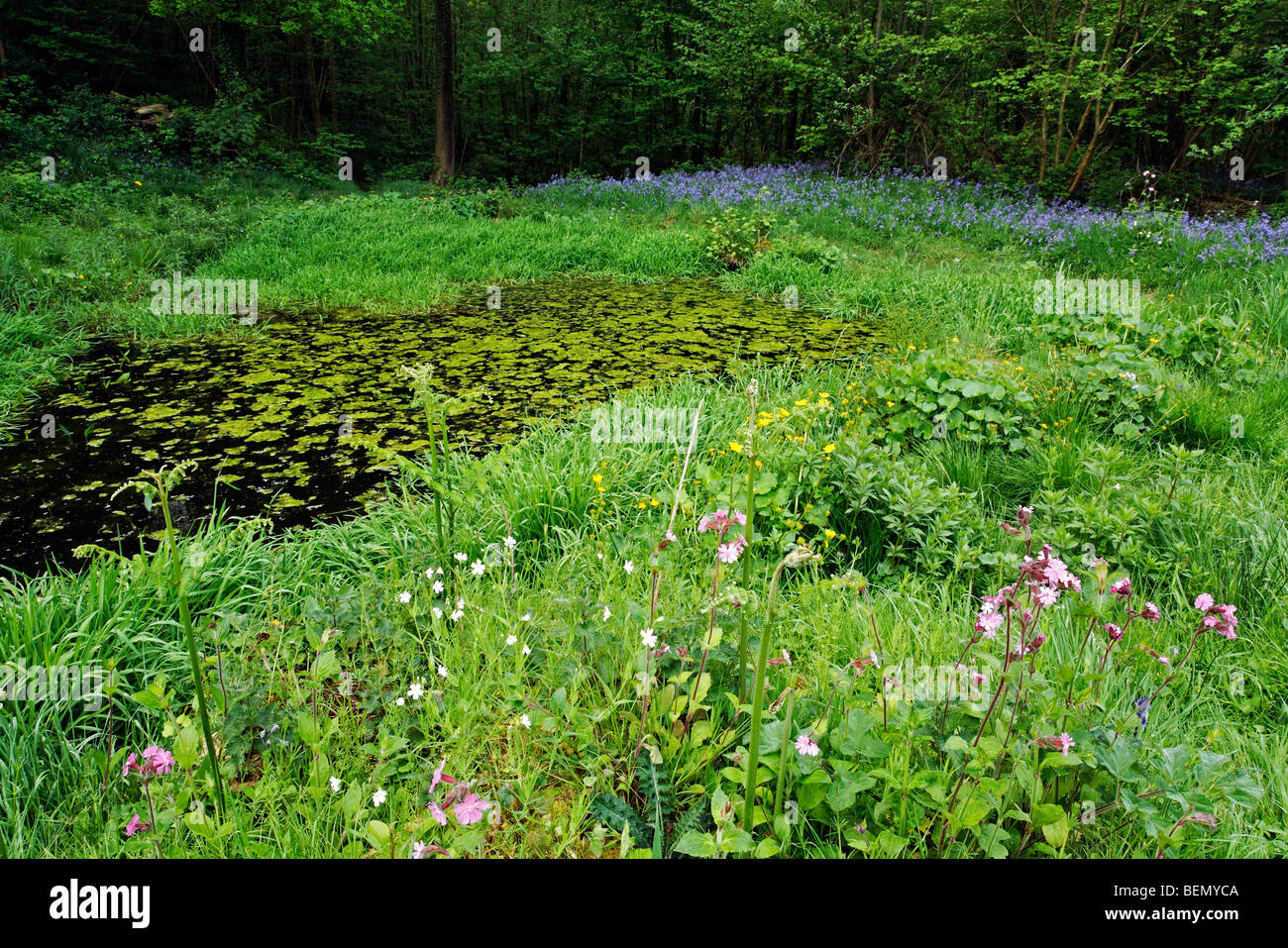 Pond surrounded by red campion (Silene dioica) and bluebells (Endymion nonscriptus) Stock Photo