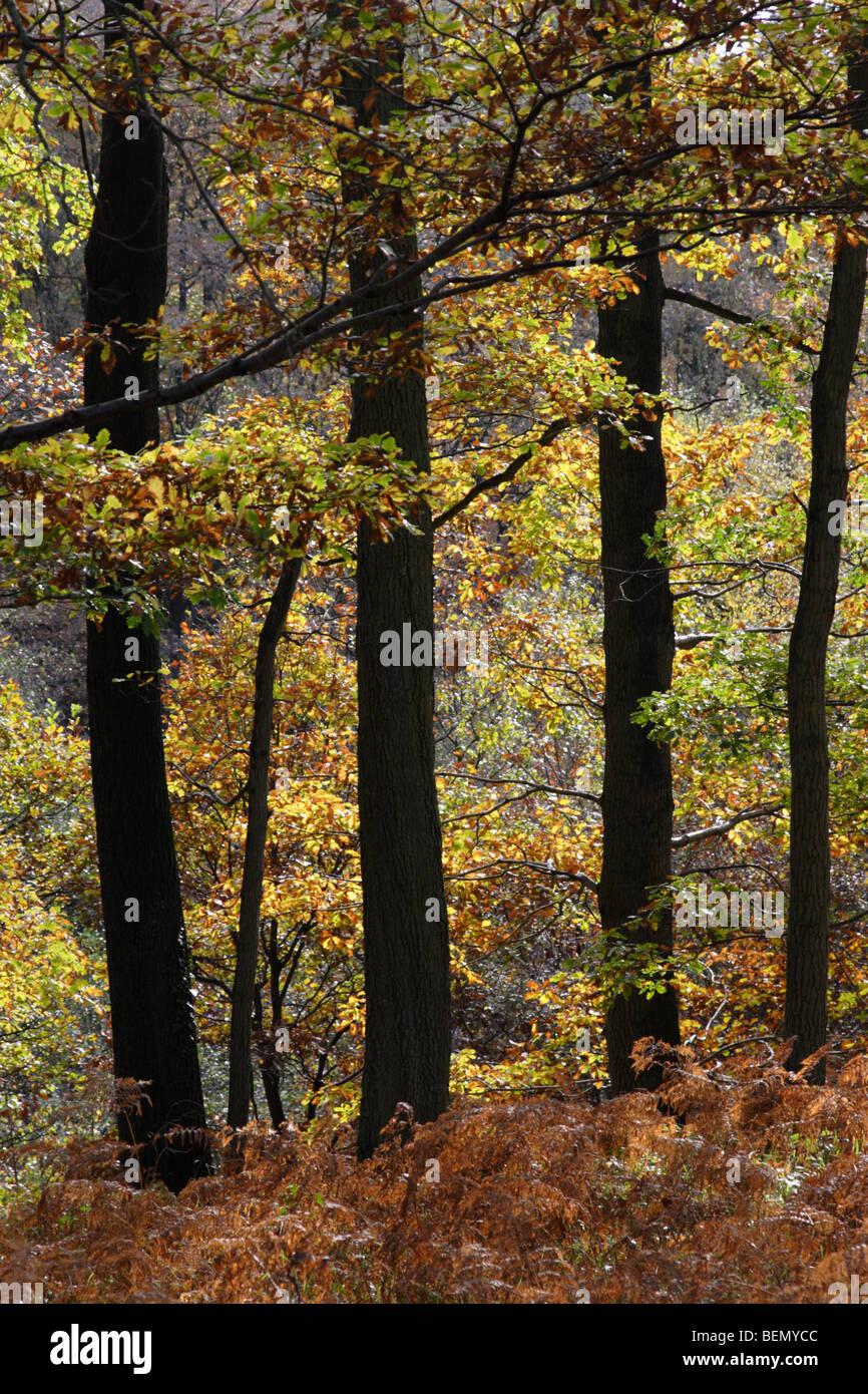 Oak woodland in autumn, England, UK - Stock Image
