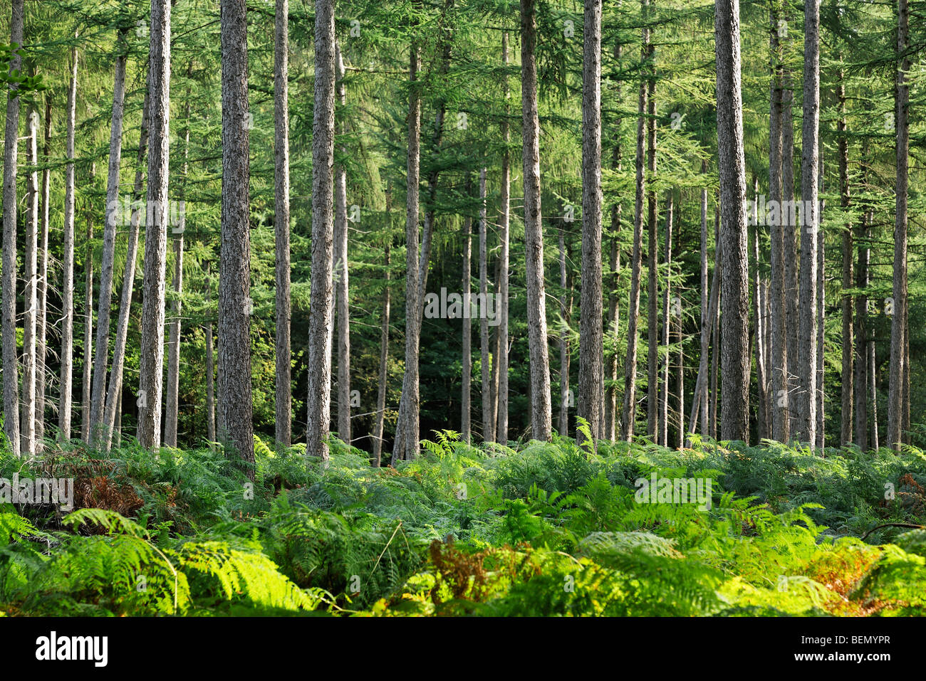 Common bracken (Pteridium aquilinum) in pine forest Stock Photo