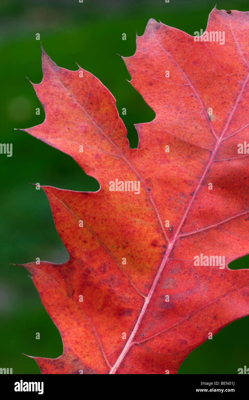 Northern red oak leaf (Quercus rubra) turning red in autumn Stock Photo