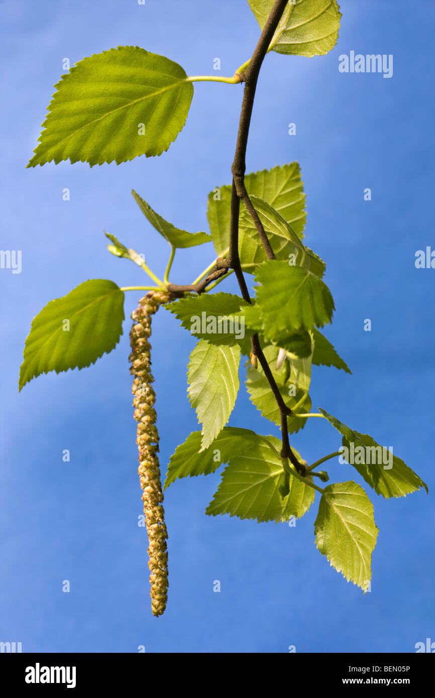 Birch leaves and male catkins (Betula sp.) against blue sky, Belgium - Stock Image